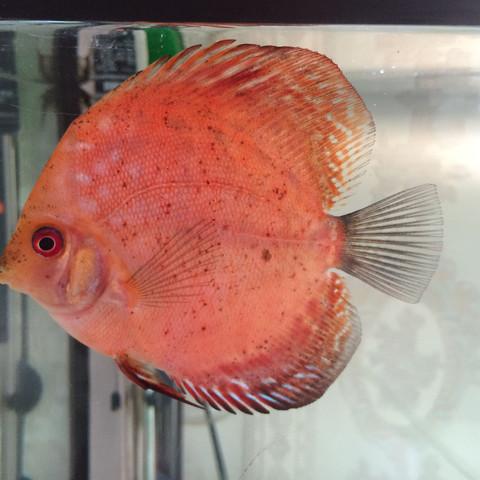 Diskus 1 - (Fische, Diskus, Farbschlag)