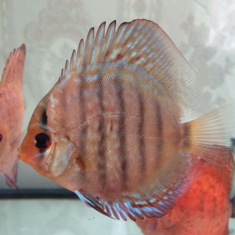 Diskus 2 - (Fische, Diskus, Farbschlag)