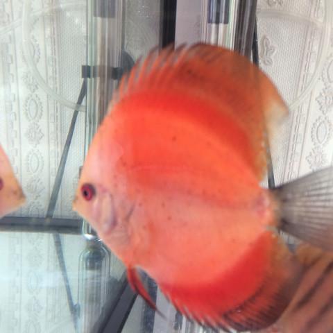 Diskus 3 - (Fische, Diskus, Farbschlag)