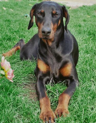 Dobermann Listenhund Hund Listenhunde