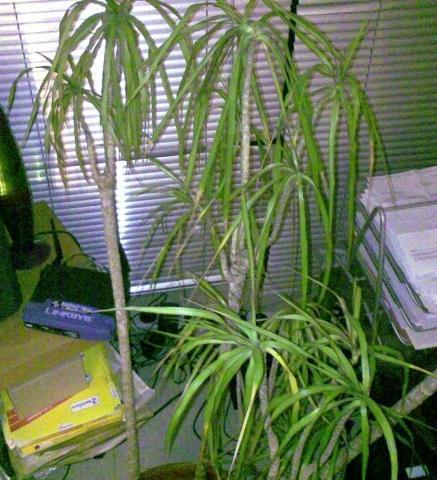 Das Pflänzchen - (Pflege, Pflanzen, Dracaena)