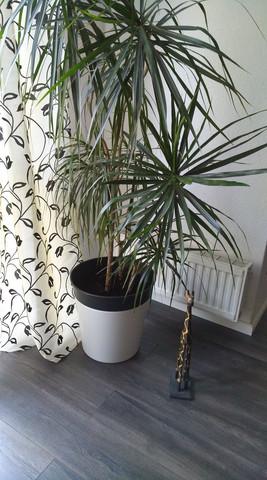 Palmen Umpflanzen