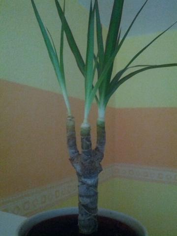 meine pflanze wie sie jetzt aussieht :(  - (Zimmerpflanzen)