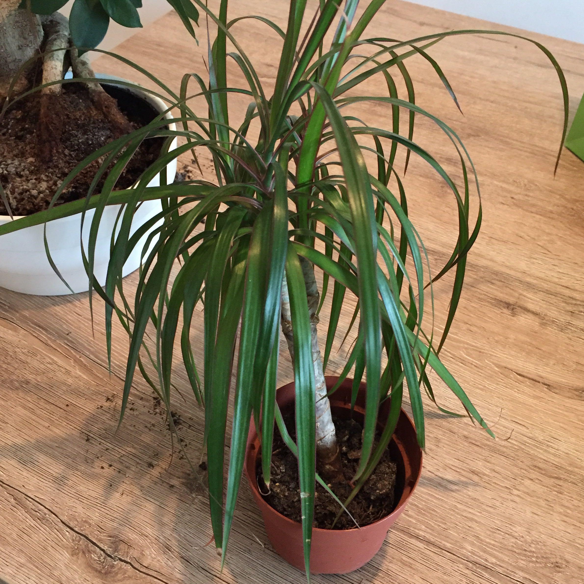 Dracena und bonsai pflanzen zimmerpflanzen drachenbaum for Bonsai pflanzen