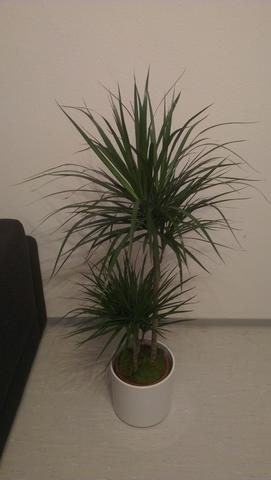 drachenbaum bekommt gelbe braune spitzen braune spitzen trauerm cken giessen. Black Bedroom Furniture Sets. Home Design Ideas