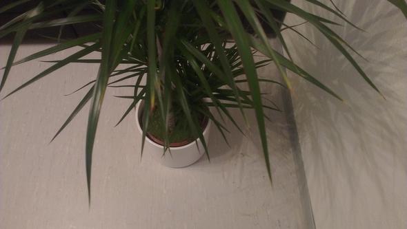 drachenbaum bekommt gelbe braune spitzen giessen. Black Bedroom Furniture Sets. Home Design Ideas