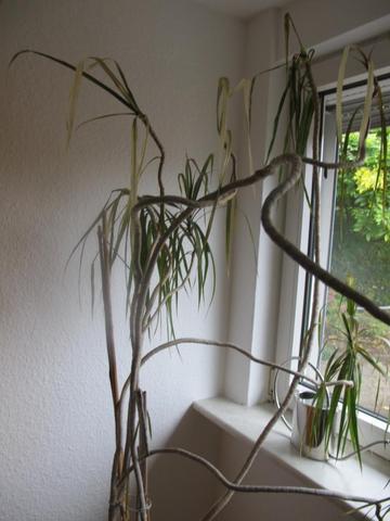 drachenbaum retten zimmerpflanzen pflege. Black Bedroom Furniture Sets. Home Design Ideas