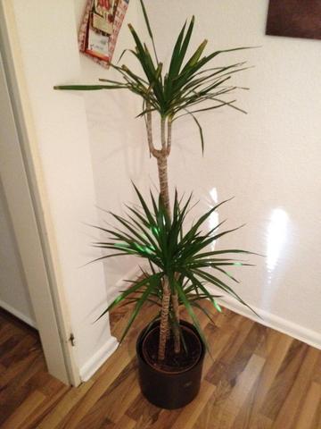 drachenpalme gibt den geist auf pflanzen botanik zimmerpflanzen. Black Bedroom Furniture Sets. Home Design Ideas