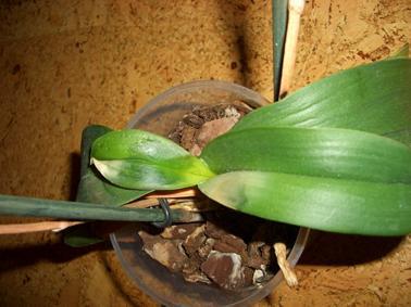 dringend orchidee 3 gelbe bl tter infektion krankheit. Black Bedroom Furniture Sets. Home Design Ideas