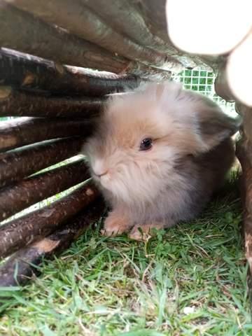 Kaninchen Rettich
