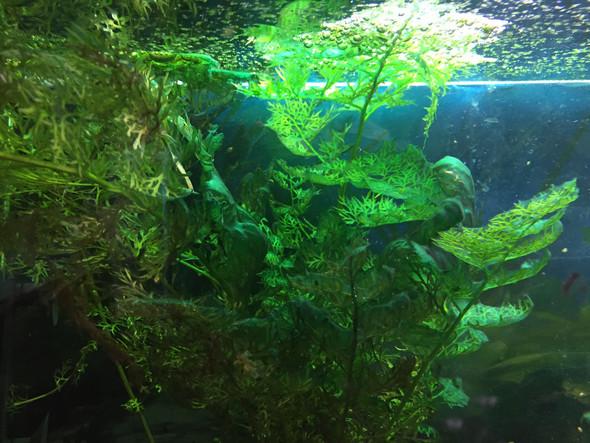 Dunkelgrune Algen Im Aquarium Fische