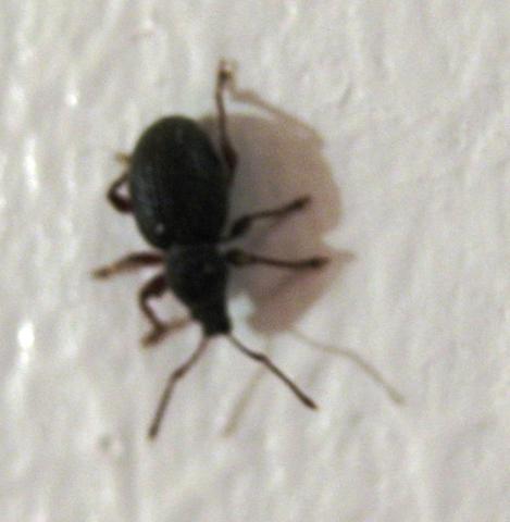 Käfer auf weisser Tapete - (Haushalt, Kaefer, Schädlinge)