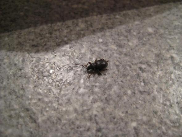 käfer 2 - (Haushalt, Kaefer, Schädlinge)