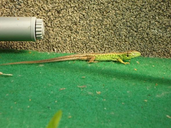Echse - (Deutschland, Garten, Reptilien)