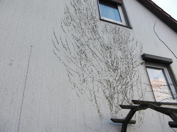 Bekannt Efeu-Haftwurzeln entfernen (Wand) DX79