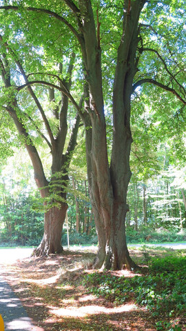 Parkeiche mit verzweigtem Stamm - (Garten, Baum, flora)