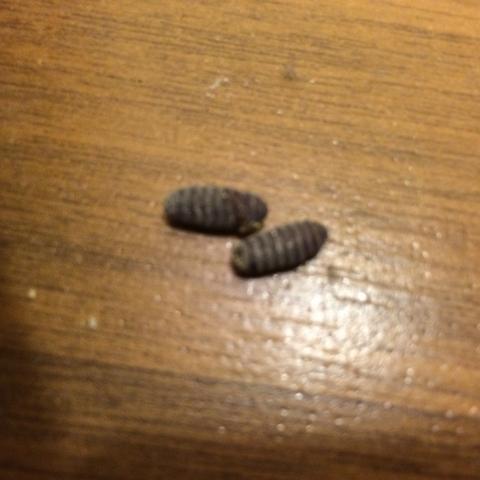 eier bzw. larven in der küche gefunden (insekten, schädlinge) - Maden An Der Decke In Der Küche