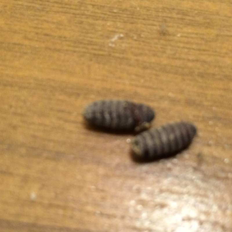 Eier bzw. Larven in der Küche gefunden (Insekten, Schädlinge)