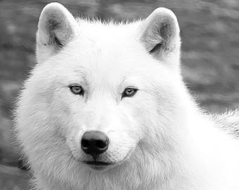 Wolf - (Name, gesucht, Wolf)