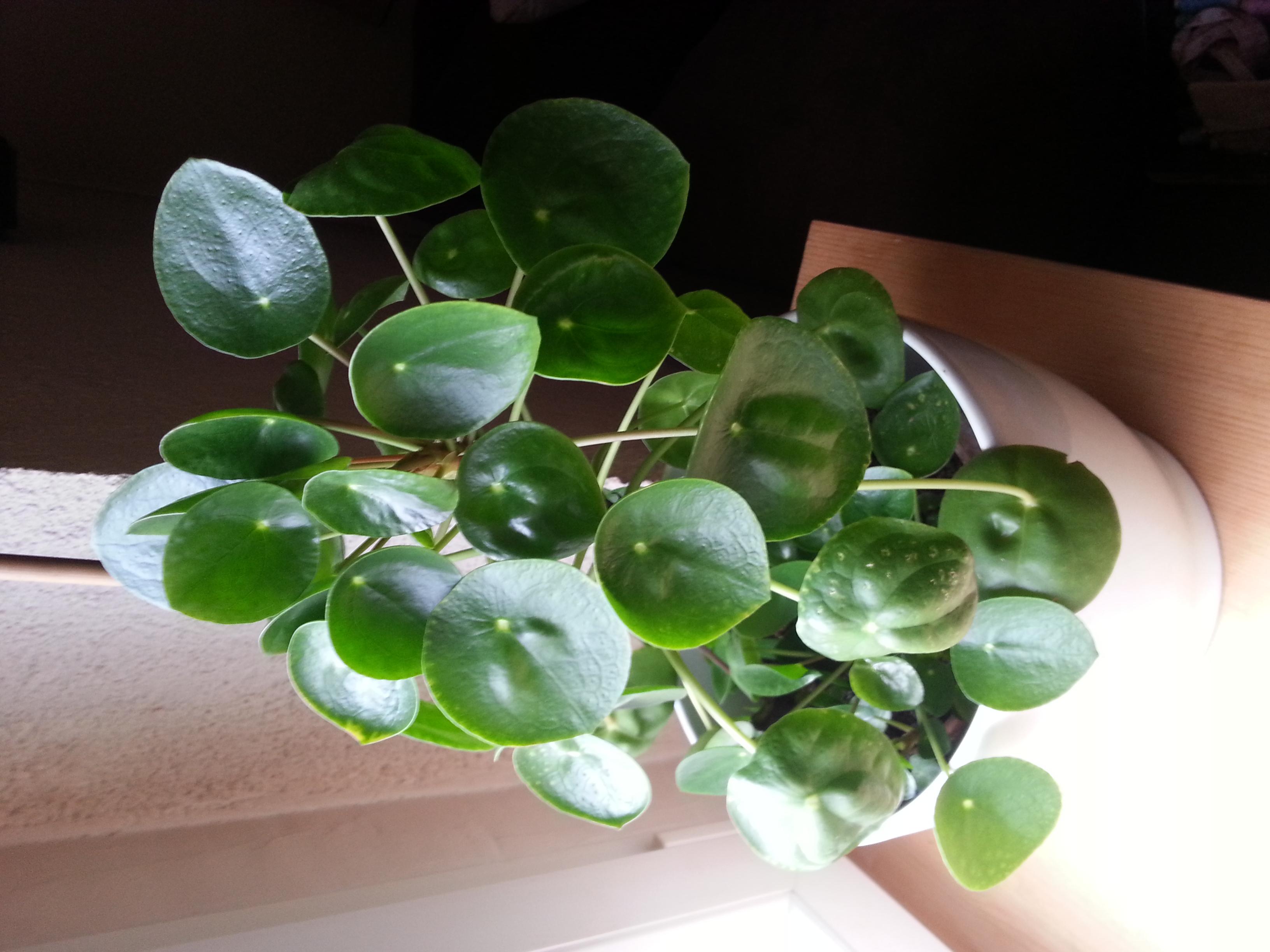 eine gewisse pflanze bestimmen die im haus steht pflanzen. Black Bedroom Furniture Sets. Home Design Ideas
