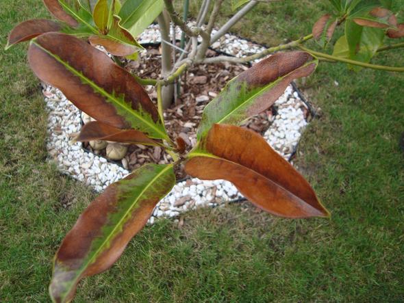eine immergr ne magnolie scheint krank zu sein was ist. Black Bedroom Furniture Sets. Home Design Ideas