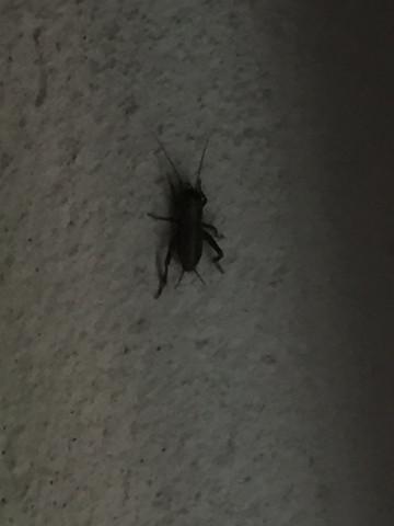 Der Käfer - (Tiere, Kaefer, riesig)