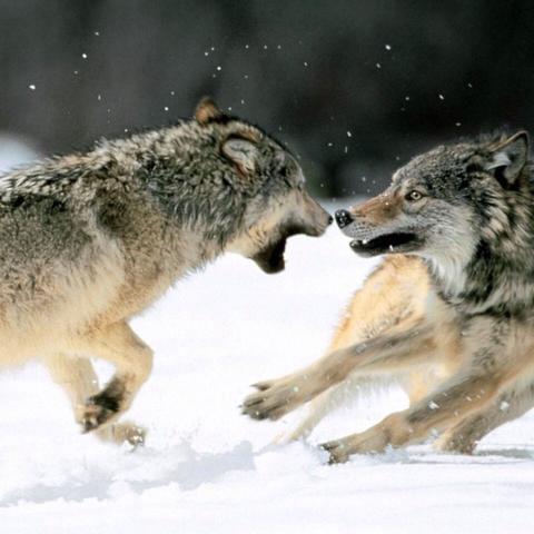 Wie kann ich einen Wolf in einer Geschichte beschreiben?