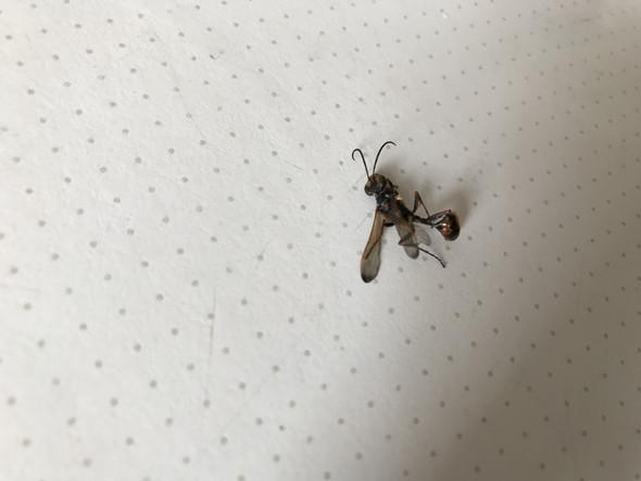 Eklige Schwarze Wespe Was Ist Das Für Ein Viech Tiere Natur