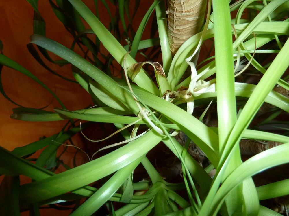 elefantenfu neue bl tter werden gleich braun und fallen ab garten pflanzen pflanzenpflege. Black Bedroom Furniture Sets. Home Design Ideas