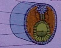 embryonalentwicklung - (Biologie, Embryonalentwicklung)