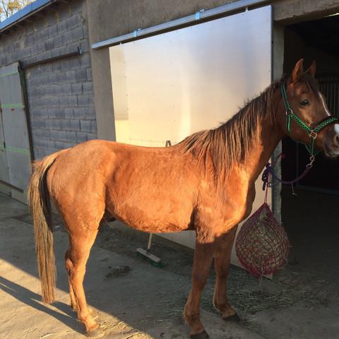 Nach einem Monat longieren - (Pferde, Muskeln, reiten)