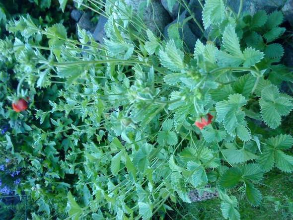 Erdbeerblume? - (Pflanzen, Garten, gartenblume)