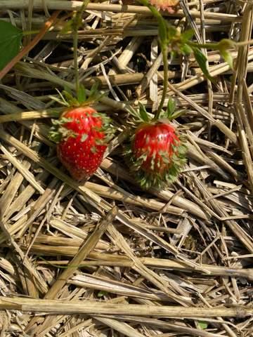 Erdbeerenblätter?