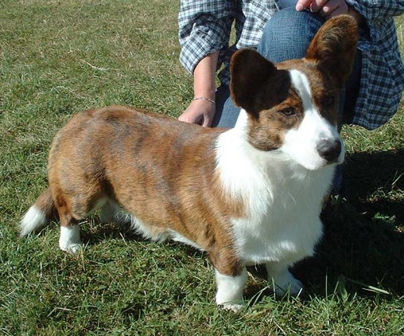 Welsh Corgi Cardigan  - (Tiere, Hund, Kinder und Erziehung)