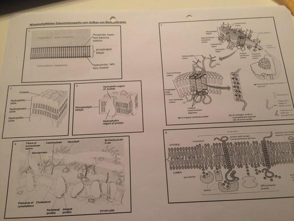 Biomembrane - (Biologie, biomembran)