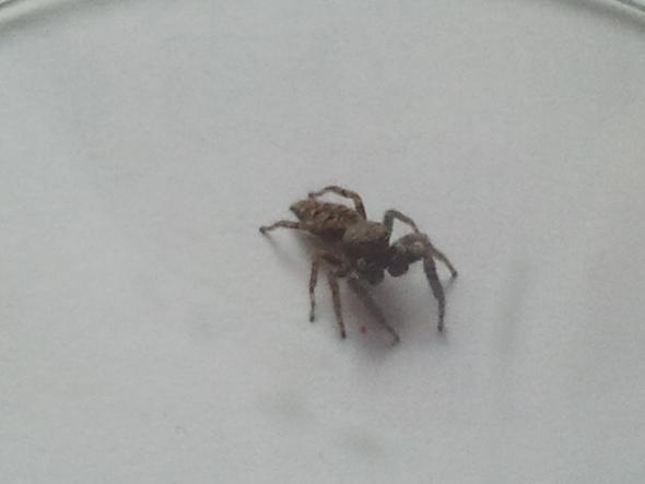 Die Spinne von vorne - (Art, Spinne)