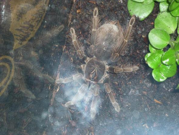 Pamphobeteus Platyomma. - (Tiere, Spinnen, Terrarium)