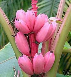 pinke banane - (Pflanzen, Banane)
