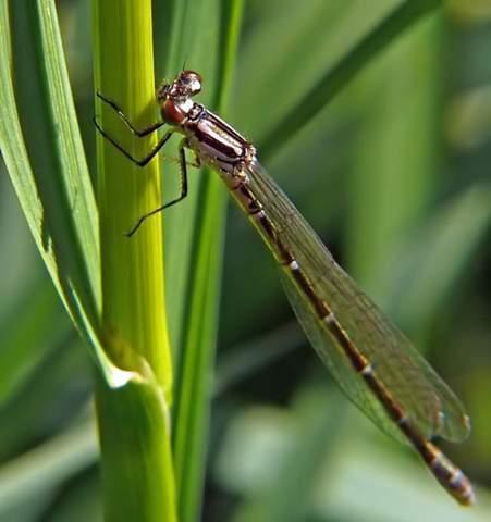 Es ist Frühling und ich brauche mal wieder Hilfe bei der Bestimmung von zwei Insekten. Fliege? und Libelle?