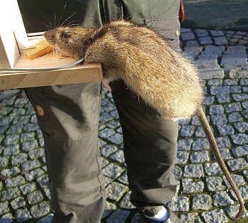 wanderratte in der todesfalle - (Ratten, Tierschutz, falle)