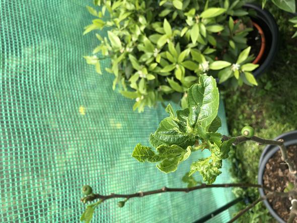 - (Pflanzen, Garten)