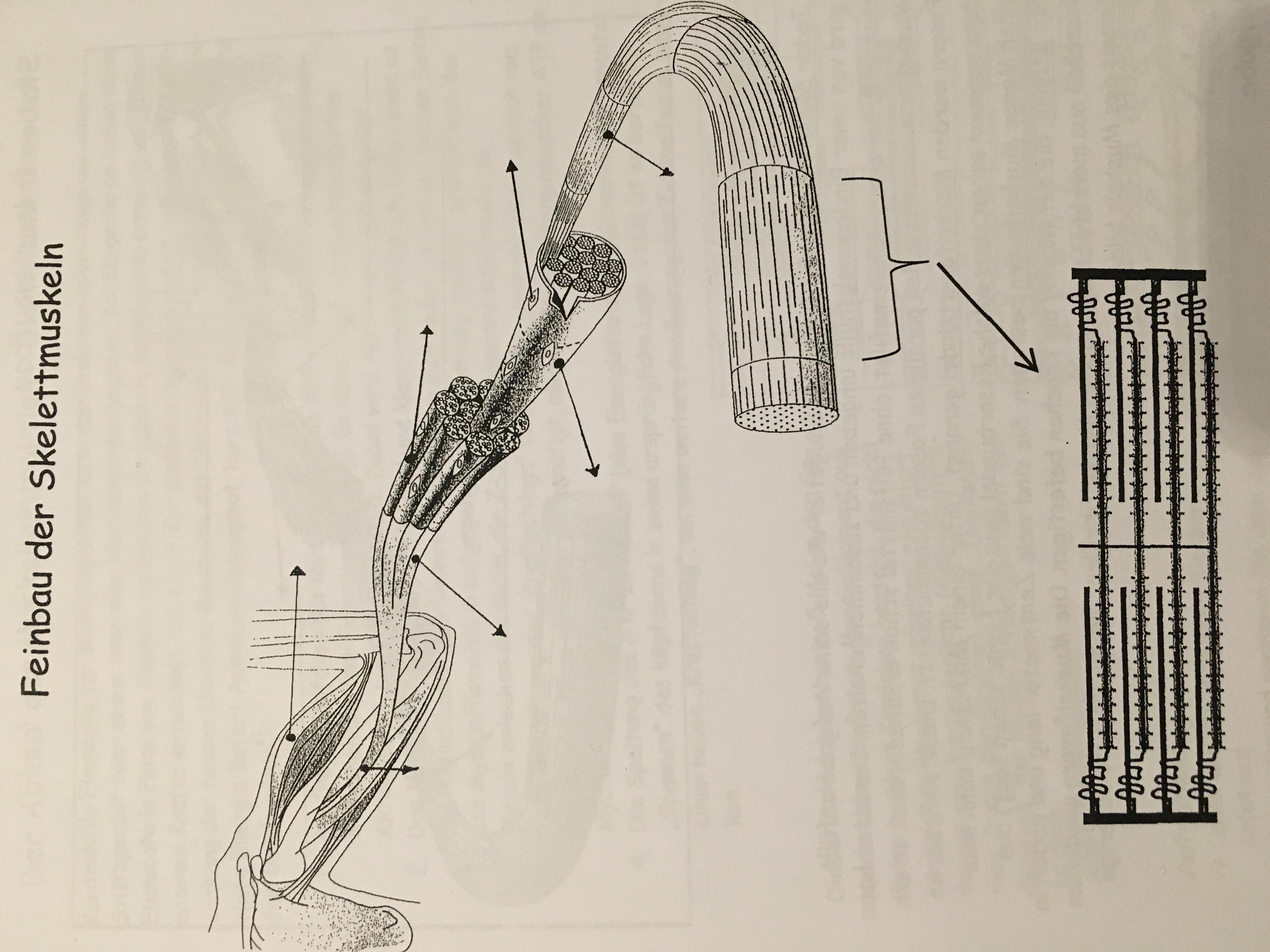 feinbau der skelettmuskel gesundheit medizin biologie. Black Bedroom Furniture Sets. Home Design Ideas
