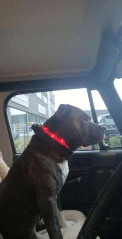 Fell Farbe vom American Pitbull Terrier färbt sich braun?