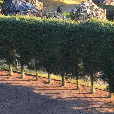 Fichtenhecke  - (Garten, Pflanzen, Baum)