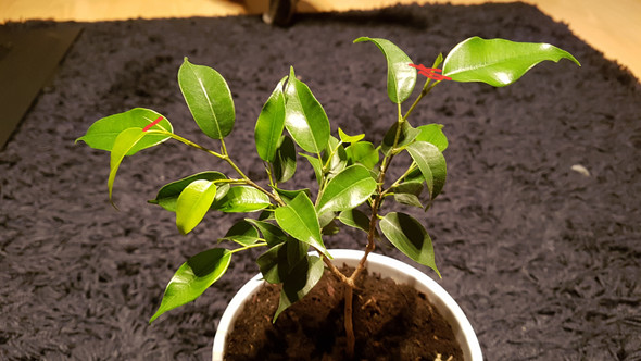 Ficus baum kompakt halten?