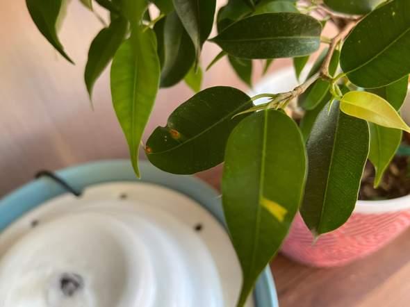 Ficus bekommt braune Flecken?