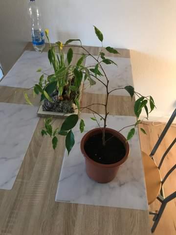 Ficus benjamini sieht traurig aus?