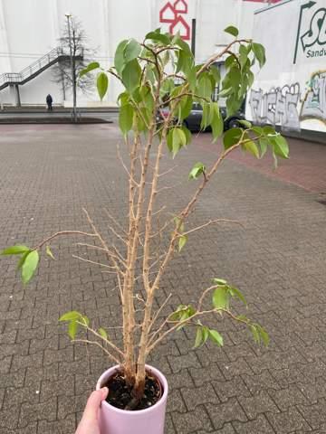 Ficus Benjamini umtopfen?