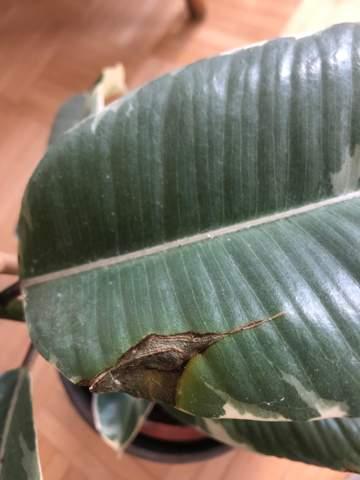 Ficus Elastica hat braune Stellen und weiche Blätter?
