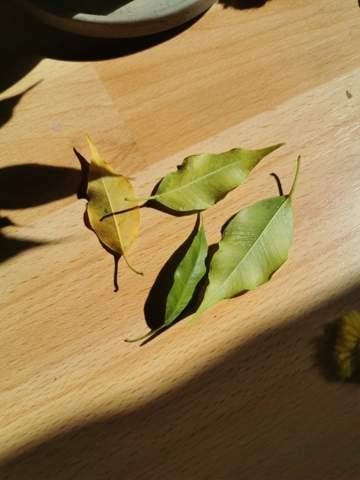 - (Pflanzen, Zimmerpflanzen, Ficus benjamini)